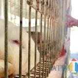 Tak Dapat Penuhi Permintaan yang Tinggi, Peternak Kelinci di Kota Batu Digelontor Rp 100 Juta