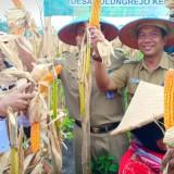 Panen raya jagung di Desa Tulungrejo, Kec Wates, Kabupaten Blitar