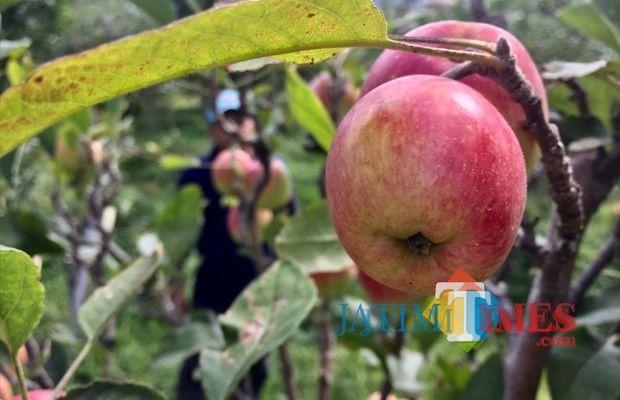 Salah satu varietas apel di lahan pertani apel Desa Tulungrejo, Kecamatan Bumiaji. (Foto: Irsya Richa/BatuTIMES)
