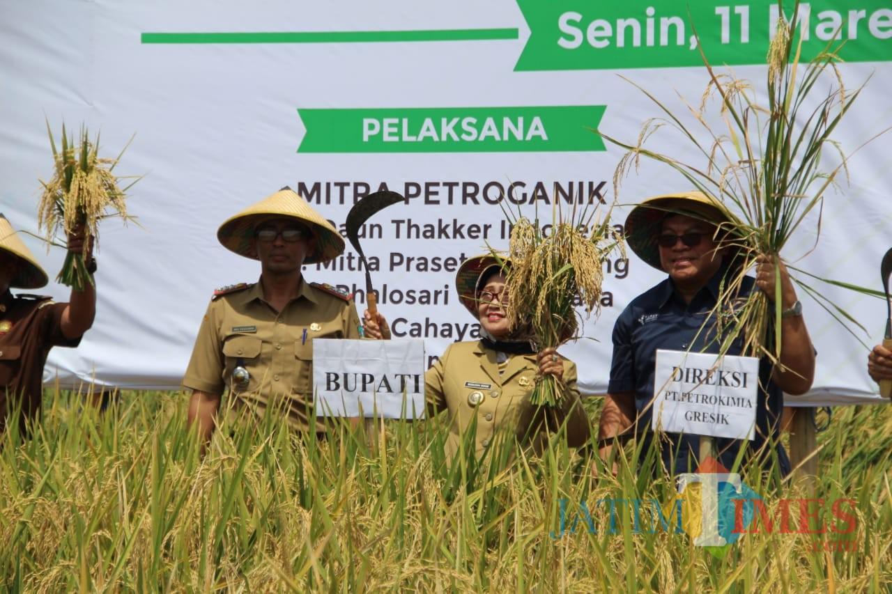 (tengah) Bupati Jombang, Hj Mundjidah Wahab saat memanen padi di kampung petroganik, Kecamatan Megaluh. (Foto : Adi Rosul / JombangTIMES)