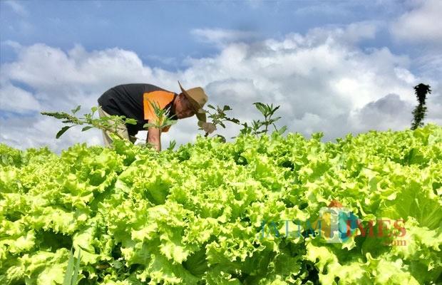 Salah satu petani saat melakukan perawatan sayur andewi di Dusun Klerek, Desa Torongrejo, Kecamatan Junrejo. (Foto: Irsya Richa/BatuTIMES)