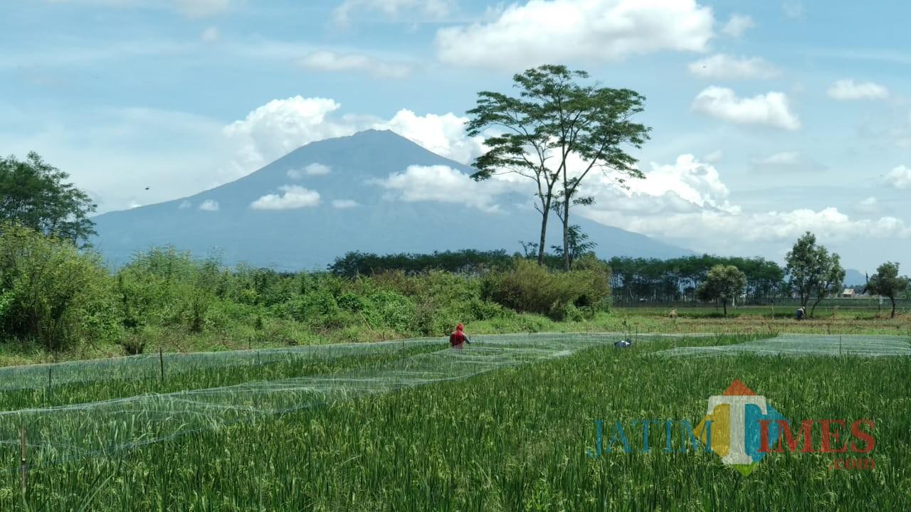 Para petani di kawasan Kecamatan Kedungkandang, Kota Malang tengah memasang jaring pengaman untuk tanaman padi. (Foto: Nurlayla Ratri/MalangTIMES)