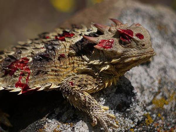 Kadal bertanduk bertahan diri dengan menyemburkan darah dari matanya. (Foto: ist)