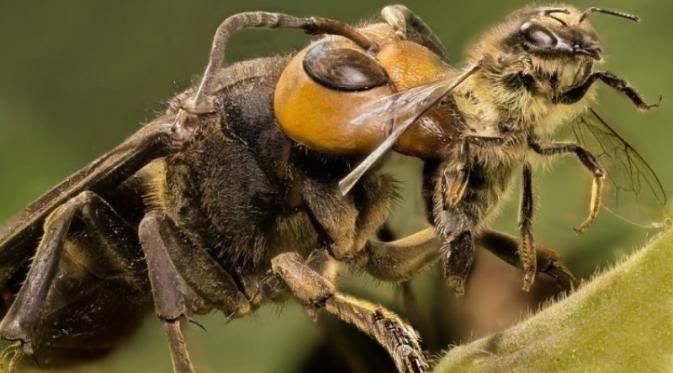 Lebah raksasa Jepang, Slash satu hewan mematikan (liputan6.com)
