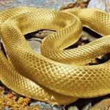 Chrysopelea Ornata merupakan�ular berkulit emas. (Foto: istimewa)