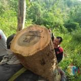 Barang Bukti Kayu Diamankan Petugas / Foto : Sachur Rohman / Tulungagung TIMES