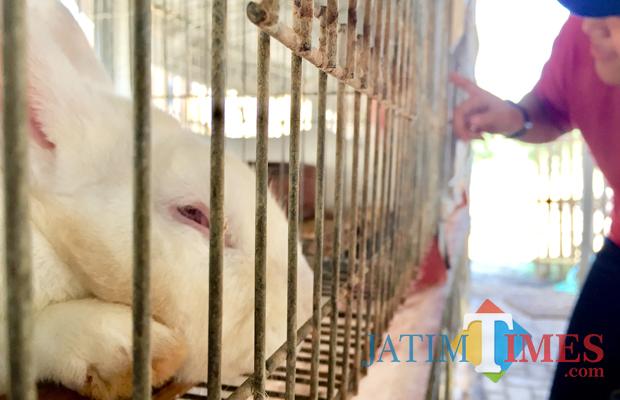 Salah satu kelinci hibrida yang dikembangkan di Desa Bumiaji, Kecamatan Bumiaji. (Foto: Irsya Richa/BatuTIMES)