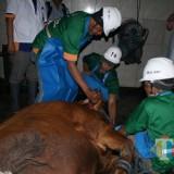 Para jagal tengah menyembelih sapi di RPH Kota Malang. (Foto: Dokumen PD RPH Kota Malang)
