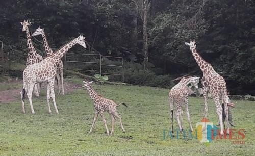 Bayi jerapah di Taman Safari Prigen.