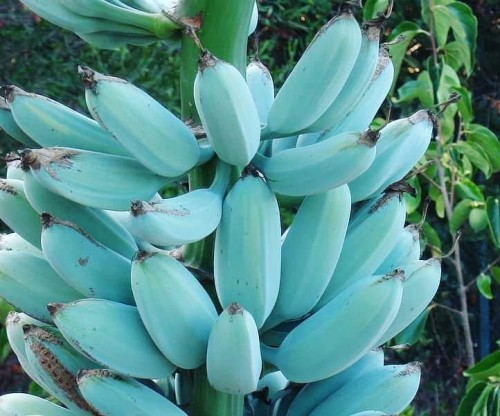'Blue Java Banana', Pisang Biru Rasa Es Krim Vanilla? Seperti Apa Ya