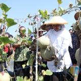 Gubernur Khofifah ketika mengikuti panen melon di Tuban