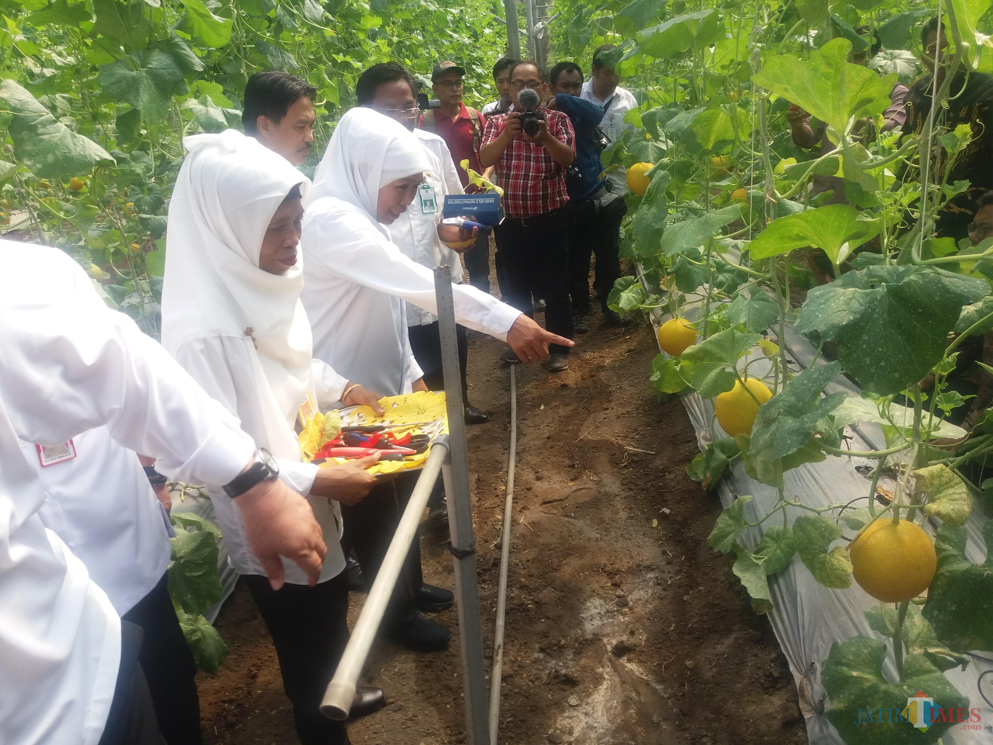 Gubernur Khofifah saat panen Melon Prima di UPT Pengembangan Agrobisnis Tanaman Pangan dan Holtikultura