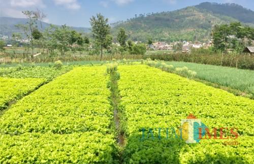 Arean tanah pertanian milik warga di Desa Sumberejo, Kecamatan Batu. (Foto: Irsya Richa/MalangTIMES)