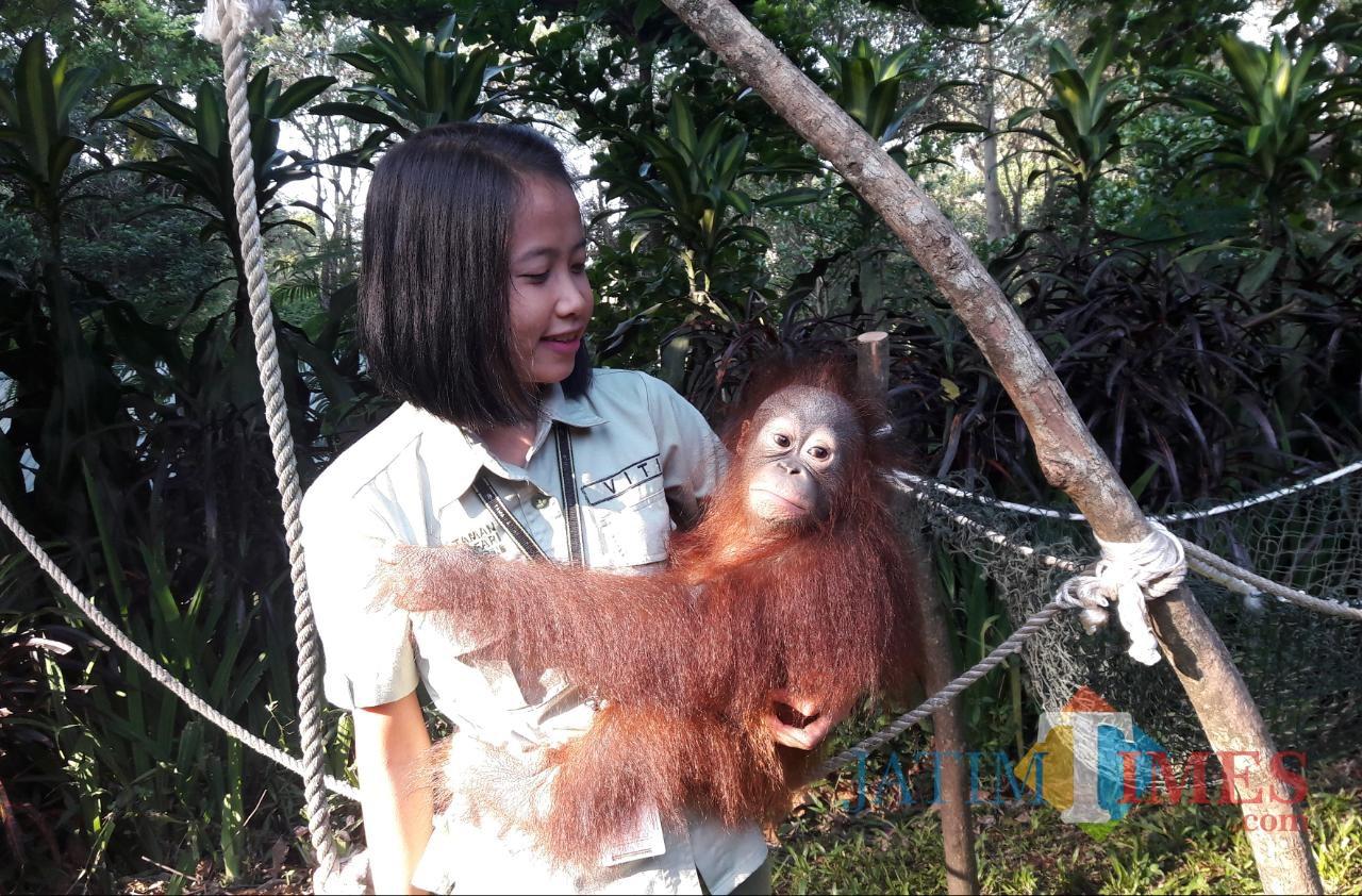 Orangutan Kalimantan.