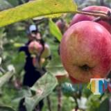 Salah satu varietas apel di lahan pertani apel Desa Tulungrejo, Kecamatan Bumiaji. (Foto: Irsya Richa/BatuTIMES).