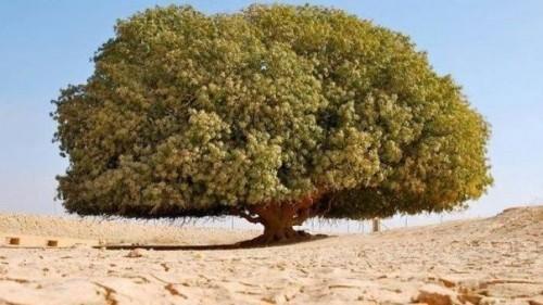 Pohon Nabi yang ada di Yordania (Ist)