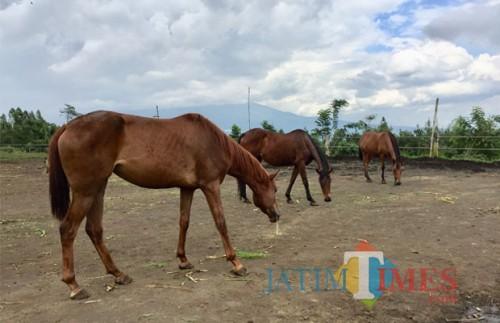 Para kuda betina saat berada di lapangan peternakan kuda Megastar, Desa Oro-Oro Ombo, Kecamatan Batu. (Foto: Irsya Richa/BatuTIMES)