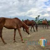 Jadi Destinasi Favorit, Selain Menunggangi, Pengunjung juga Bisa Melihat Perawatan Kuda di Megastar Kota Batu