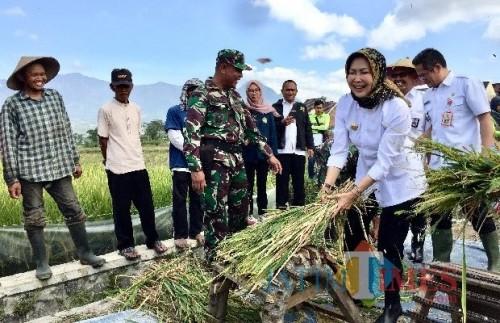 Wali Kota Batu Dewanti Rumpoko saat memanen padi organik di Desa Pendem. (Foto: Irsya Richa/MalangTIMES)