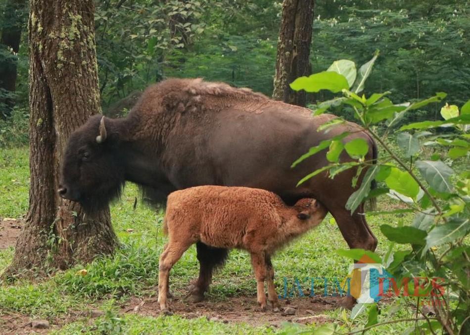 Bayi dan indukan bison Eropa TSP.