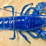 Lobster biru. (Foto: istimewa)