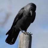 Burung Gagak (istimewa)