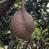 Buah durian Sabah tanpa duri. (Foto: istimewa)