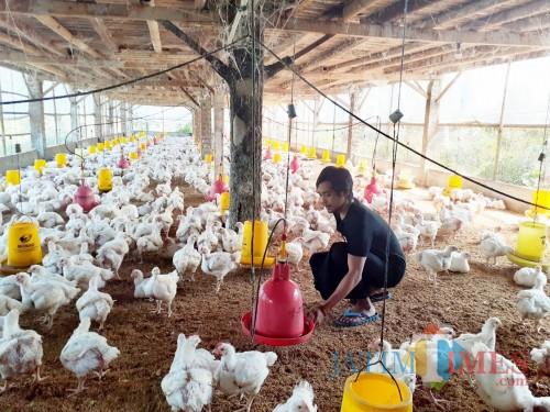 Salah satu aktifitas peternak ayam di kawasan Wonokoyo, Kedungkandang Kota Malang (Arifina Cahyanti Firdausi/MalangTIMES)