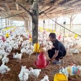 Harga Anjlok, Peternak Ayam Kota Malang : karena Kelebihan Stok