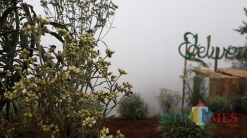 Tanaman edelweiss jawa yang termasuk kategori flora langka di kawasan Taman Nasional Bromo Tengger Semeru. (Foto: Nurlayla Ratri/MalangTIMES)