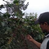 Berburu Kopi Cobra di Lereng Gunung Arjuno, Arabika Fruity dari Ketinggian 1.300 Mdpl