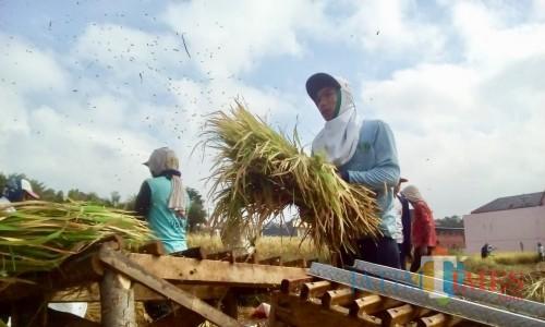 Petani saat melakukan panen di Desa Junrejo, Kecamatan Junrejo. (Foto: Irsya Richa/MalangTIMES)