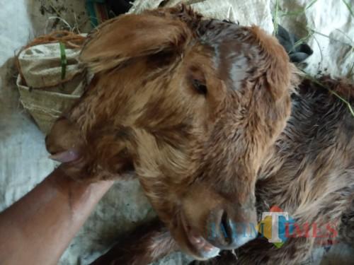 Seekor anak sapi lahir dengan kondisi berkepala dua, di Desa Bangsongan, Kecamatan Pagu, Kabupaten Kediri pada Sabtu (6/7) . Foto: (Bambang Setioko/JatimTIMES)