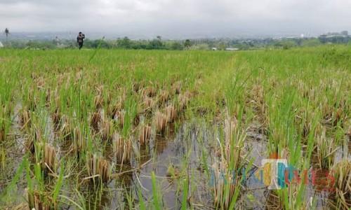 Pertanian padi di Desa Pendem. (Foto: Irsya Richa/MalangTIMES)