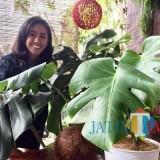 Salah satu petani tanaman hias menunjukkan tanaman�Monstera Variegata di Kelurahan Temas, Kecamatan Batu. (Foto: Irsya Richa/MalangTIMES)