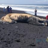 Ikan Paus Panjang 6 Meter Ditemukan Membusuk Di Pantai Selatan Lumajang