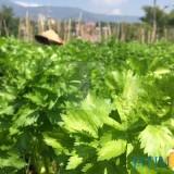 Petani sedang merawat sayur seledri di Dusun Sumberejo, Desa Sumberejo, Kecamatan Batu. (Foto: Irsya Richa/MalangTIMES)