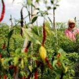 Dampak Kekeringan, Ribuan Hektare Lahan Cabai Gagal Panen di Blitar