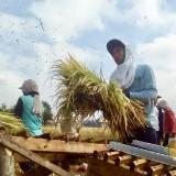 Ilustrasi pertanian padi di Kota Batu. (Foto: Irsya Richa/MalangTIMES)