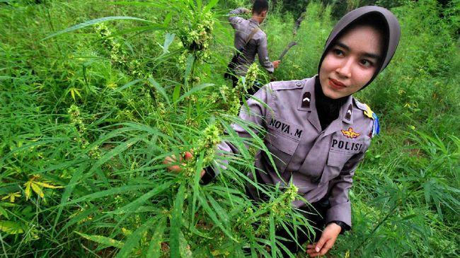 Ladang ganja di Aceh yang disatroni kepolisian. (Ist)