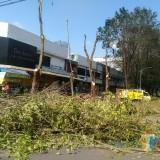 Pemangkasan pohon yang dilakukan oleh DLH Lumajang (Foto : Moch. R. Abdul Fatah / Jatim TIMES)