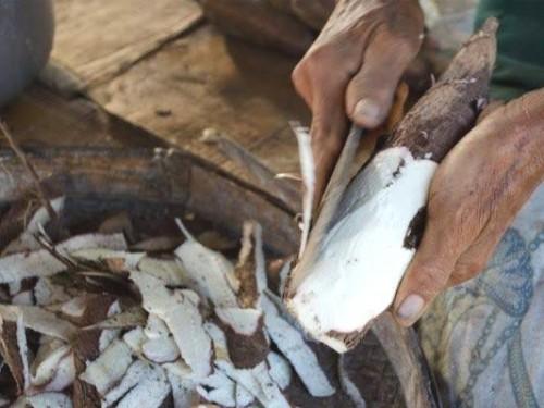 Singkong yang akan diolah menjadi Mocaf dan dijadikan bahan pelatihan Disnaker Kabupaten Malang kepada warga Kalipare (Ist)