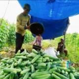 Pedagang dan Petani Bisa Tersenyum, Harga Mentimun Meroket Tinggi