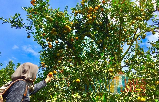 Wisatawan saat memetik jeruk di Balijestro. (Foto: Irsya Richa/MalangTIMES)