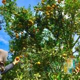 Petani Kota Batu dan Banyuwangi Mulai Terapkan Sistem Pertanian Sitara untuk Jeruk, Hasilnya 4 Kali Lipat