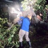 Akhir Bulan Ini, Kota Batu Dilanda Musibah Pohon Tumbang
