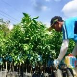 Genjot Produksi Jeruk, Pemkot Batu GencarkanBenih Jeruk Bebas Penyakit