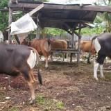 Jelang Hari Raya Kurban, Ekspor Ternak dari Blitar Naik Lima Kali Lipat