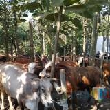 Wajib Bunting, Ratusan Sapi di Kediri Ikuti Apel Ternak