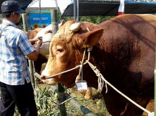 Jelang Idul Adha di Kabupaten Malang, tidak ditemukan hewan terkena penyakit berbahaya (dok MalangTIMES)